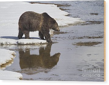 Grizzly Bear Stepping Into Water Wood Print by Mike Cavaroc