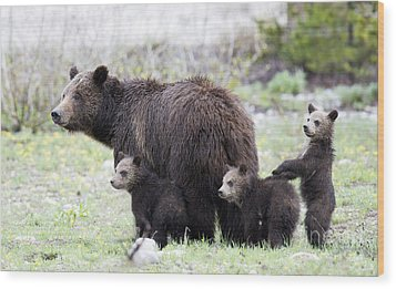 Grizzly Family Portrait Wood Print