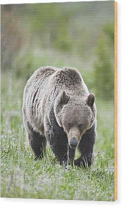 Grizzly Looking For Flowers To Eat Wood Print