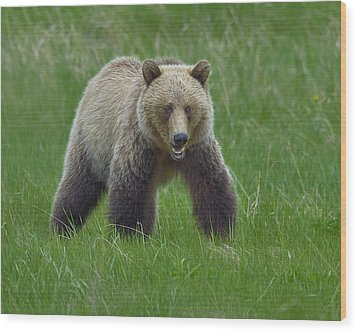 Grizzly Wood Print by Tony Beck
