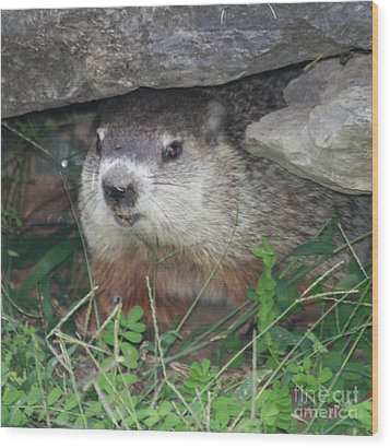 Groundhog Hiding In His Cave Wood Print