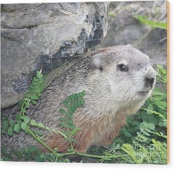 Groundhog Hiding Wood Print by John Telfer