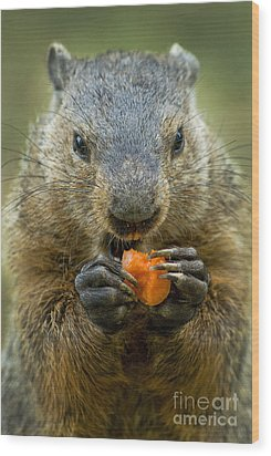 Groundhogs Favorite Snack Wood Print by Paul W Faust -  Impressions of Light