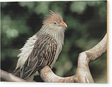Guira Cuckoo Wood Print by Dennis Baswell