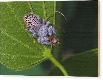 Hairy White Spider Eating A Bug Wood Print by Craig Lapsley