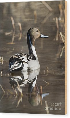 Northern Pintail Duck Wood Print by Martha Marks
