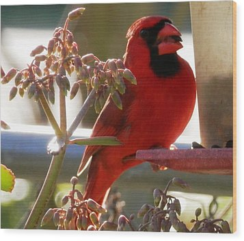 Handsome Red Male Cardinal Visiting Wood Print by Belinda Lee