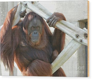 Wood Print featuring the photograph Hanging Out - Melati The Orangutan by Emmy Marie Vickers