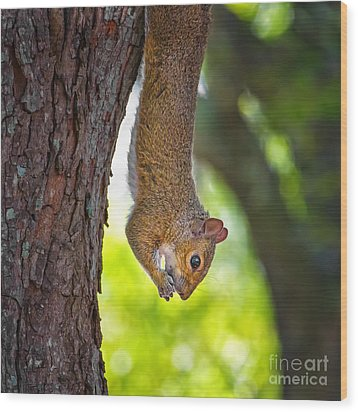 Hanging Squirrel Wood Print by Stephanie Hayes