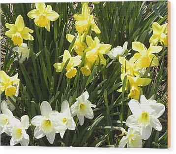 Happy Daffodils  Wood Print by Cim Paddock