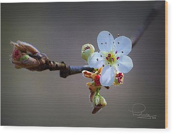 Wood Print featuring the photograph Harbinger Of Spring by Ludwig Keck