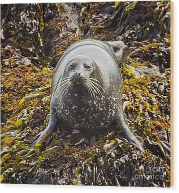 Harbor Seal Wood Print by Alice Cahill