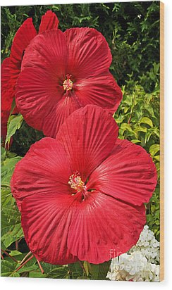 Wood Print featuring the photograph Hardy Hibiscus by Sue Smith