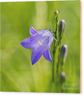 Harebell Wood Print by Dee Cresswell