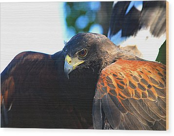 Harris Hawk - Close Up Wood Print