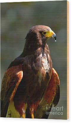 Harris Hawk In Thought Wood Print