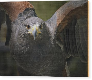 Harris Hawk Wood Print by Inge Riis McDonald