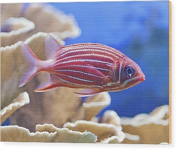 Hawaiian Squirrelfish Wood Print by Maj Seda