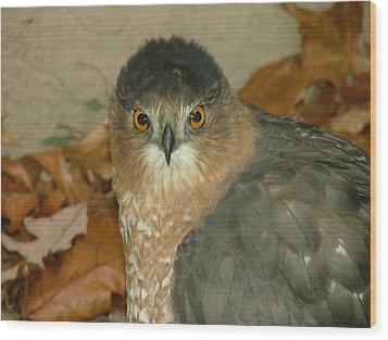 Hawk Eyes Wood Print