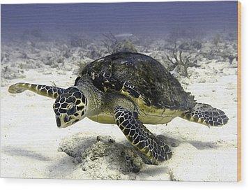 Hawksbill Caribbean Sea Turtle Wood Print