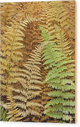 Hay-scented Ferns Wood Print by Alan L Graham