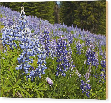 Heavenly Blue Lupins Wood Print by Theresa Tahara