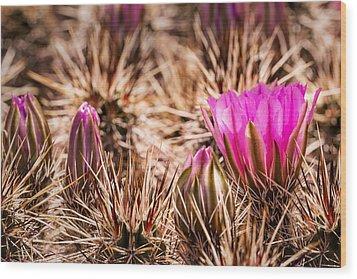 Hedgehog Cactus Flower And Buds Wood Print by  Onyonet  Photo Studios