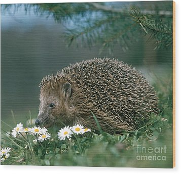 Hedgehog With Flowers Wood Print by Hans Reinhard