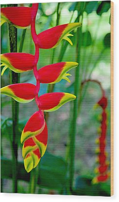 Heliconia--flower In Chiapas Wood Print by Matthew Bamberg