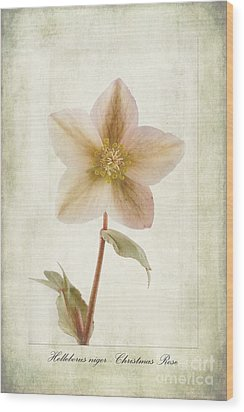 Helleborus Niger Wood Print by John Edwards