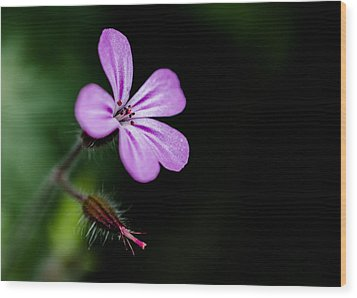 Herb Robert - Geranium Robertianum Wood Print by Brian Xavier