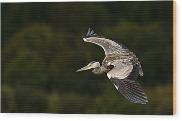 Heron Coming In To Land Wood Print