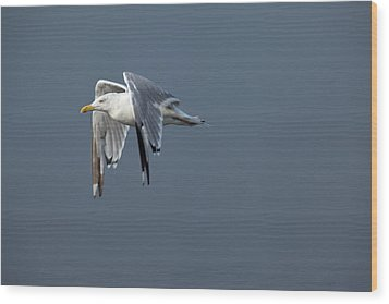 Herring Gull In Flight Wood Print by Karol Livote