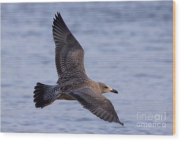 Wood Print featuring the photograph Herring Gull In Flight Photo by Meg Rousher