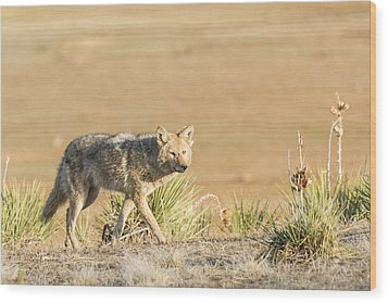 High Plains Coyote At Sunset Wood Print by Adam Pender