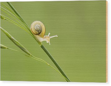 High Speed Snail Wood Print by Mircea Costina Photography