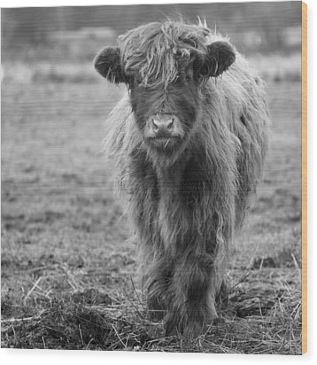 Highland Calf Wood Print by Sonya Lang