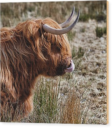 Highland Coo With Tongue In Nose Wood Print by John Farnan