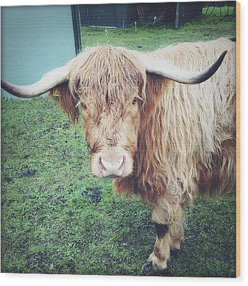 Highland Cow Wood Print by Les Cunliffe