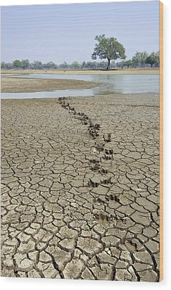 Hippo Footprints Wood Print by Science Photo Library