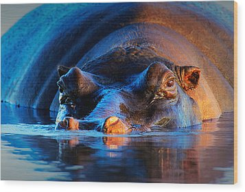 Hippopotamus  At Sunset Wood Print by Johan Swanepoel