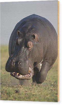 Hippopotamus Bull Charging Botswana Wood Print by Vincent Grafhorst