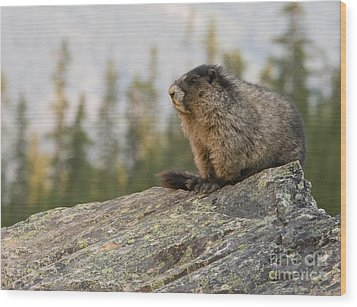Wood Print featuring the photograph Hoary Marmot by Chris Scroggins