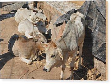Holy Cows Odisha India Wood Print