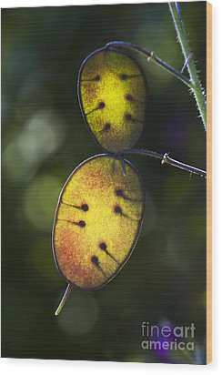 Honesty Seed Pods Wood Print by Tim Gainey