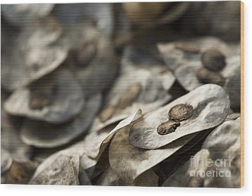 Honesty Seeds Wood Print by Anne Gilbert