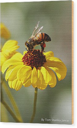 Honey Bee And Brittle Bush Flower Wood Print