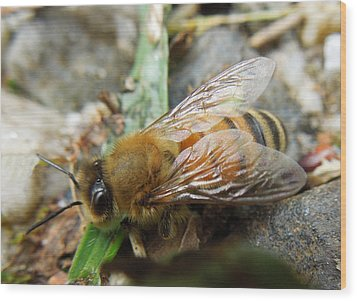 Wood Print featuring the photograph Honey Bee by Pete Trenholm