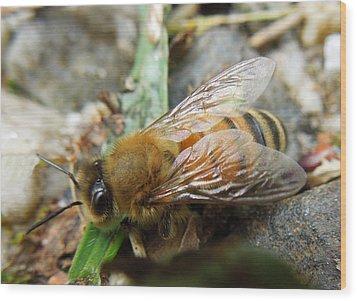 Honey Bee Wood Print by Pete Trenholm