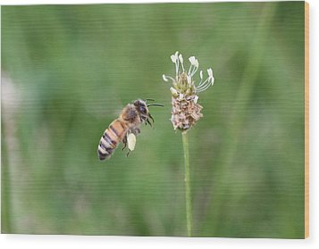 Honeybee And English Plantain Wood Print by Lucinda VanVleck